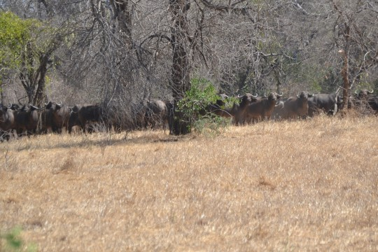 line of buffalo cropped and scaled